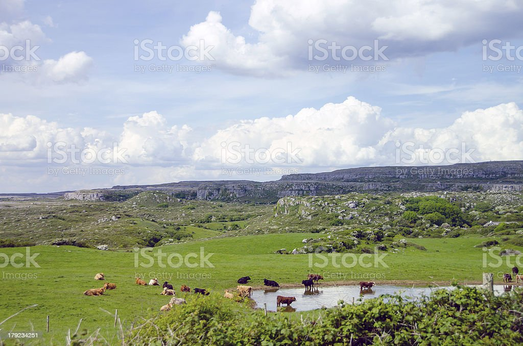 Irish landscape with cows royalty-free stock photo