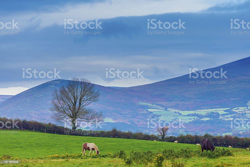 irish landscape with grazing horses royalty-free stock photo