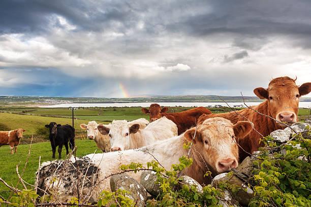 Irish rainbow Kühe – Foto