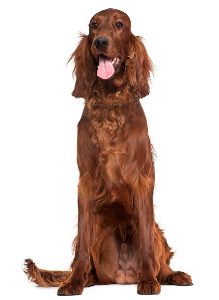 Irish Setter, 1 year old, sitting Irish Setter, 1 year old, sitting in front of white background irish setter stock pictures, royalty-free photos & images