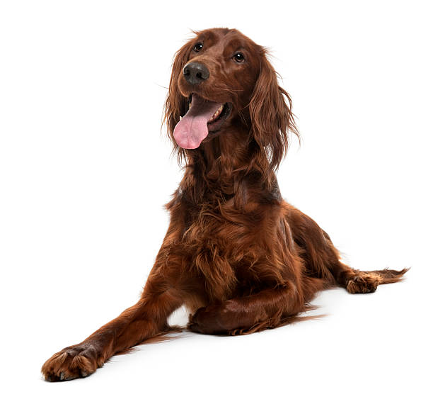 Irish Setter, 2 years old, lying down and panting.  irish setter stock pictures, royalty-free photos & images