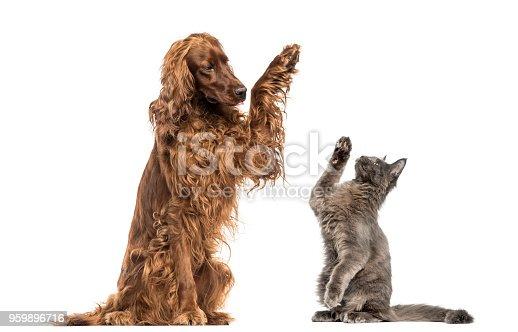 Irish setter and Maine Coon kitten high-fiving