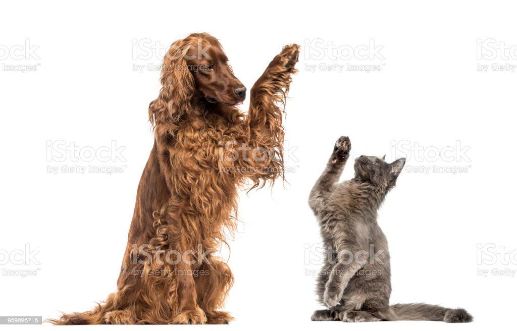 Irish setter and Maine Coon kitten high-fiving stock photo