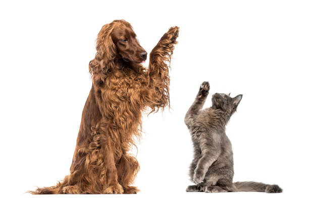 Irish setter and Maine Coon kitten high-fiving Irish setter and Maine Coon kitten high-fiving irish setter stock pictures, royalty-free photos & images