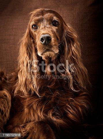 Shot of an irish setter dog