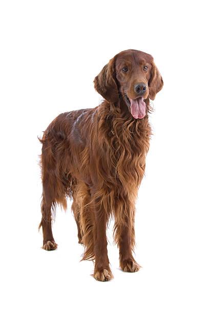 Irish setter dog  irish setter stock pictures, royalty-free photos & images