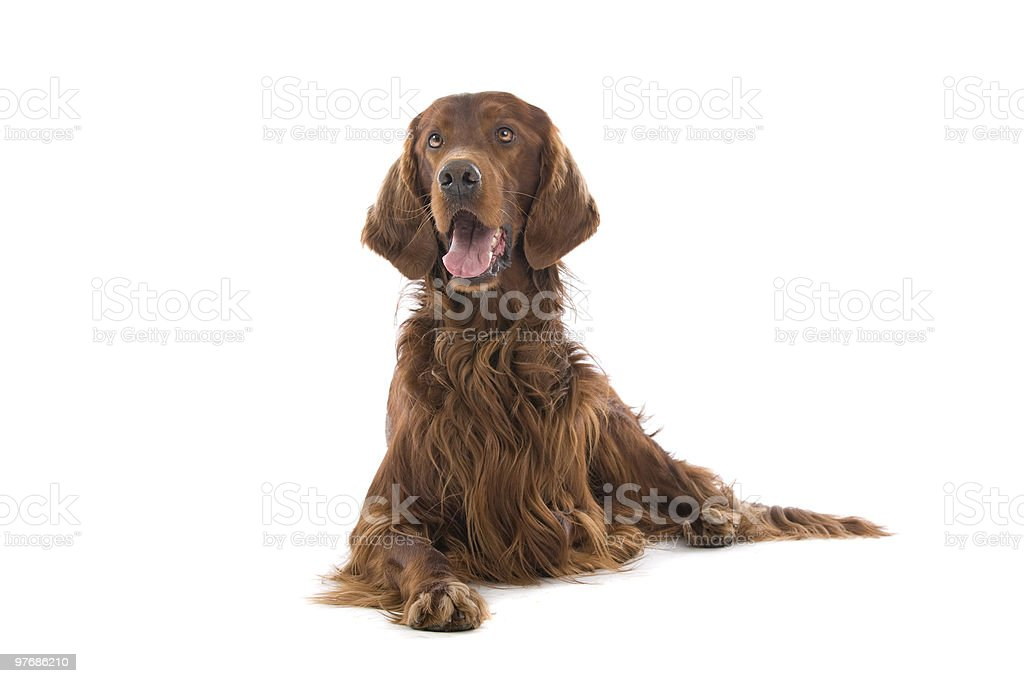 Irish Setter dog stock photo