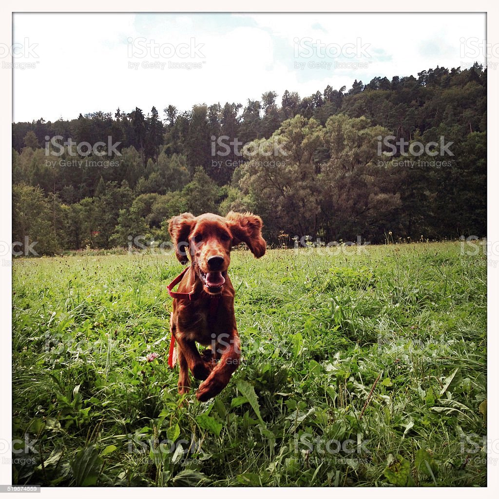 Irish Setter dog running stock photo