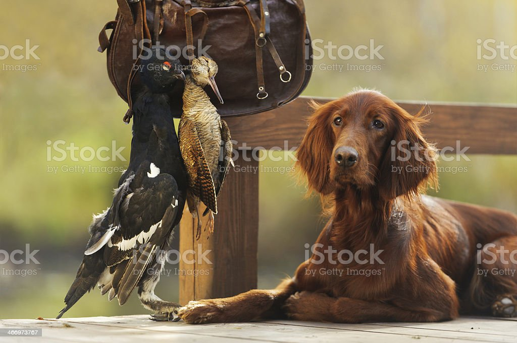 Irish setter gun dog with cartridge bag and trophy birds stock photo