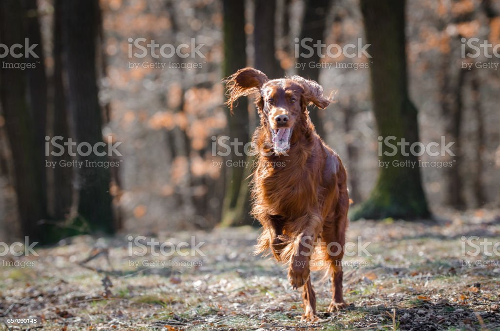 Irish setter hound dog stock photo
