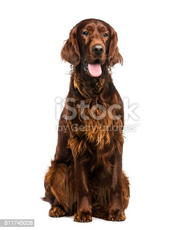Irish Setter (2years old) in front of a white background