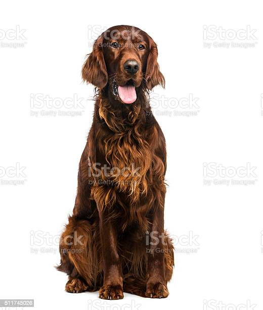 Irish setter in front of a white background picture id511745026?b=1&k=6&m=511745026&s=612x612&h=5dmzzbqn  wtr55coqxj8jln tznqoywdodawidabqm=