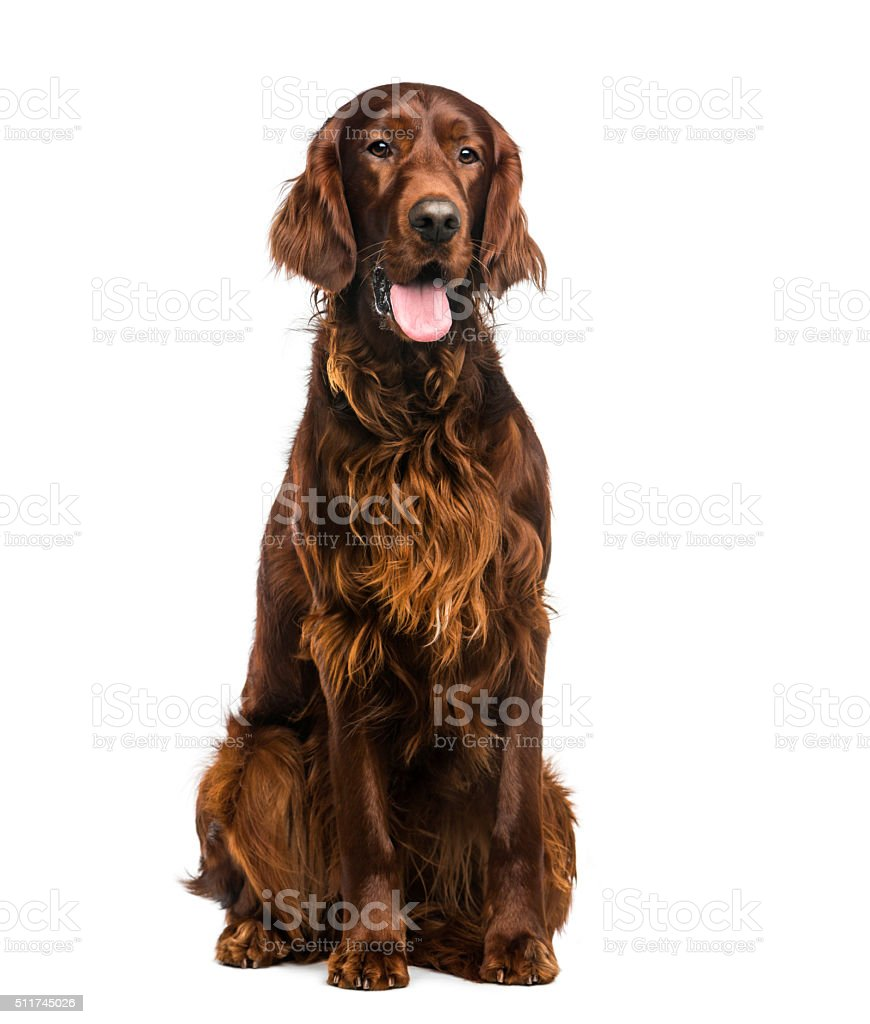 Irish Setter (2years old) in front of a white background stock photo