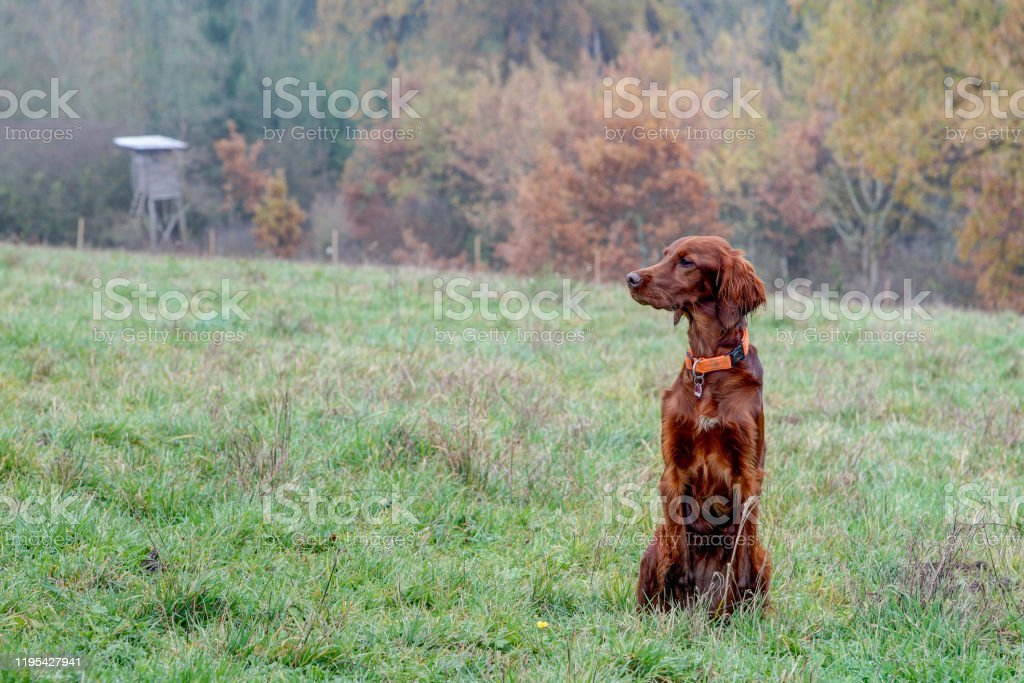 Irish Setter in the autumn hunting area - Royalty-free Animal Stock Photo