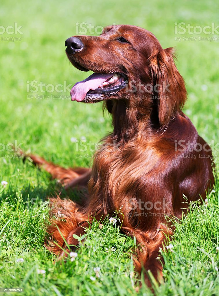 Irish Setter lying on   grass stock photo