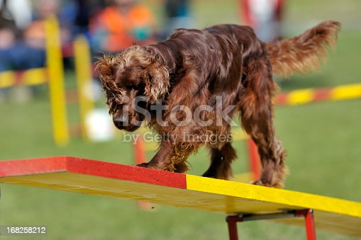 Irish Setter on agility course, see-saw or teeter obstacle