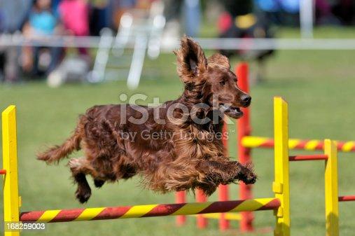 Irish Setter on agility course, over the jump hurdle