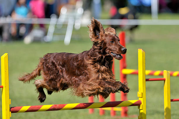 Irish Setter Irish Setter on agility course, over the jump hurdle irish setter stock pictures, royalty-free photos & images