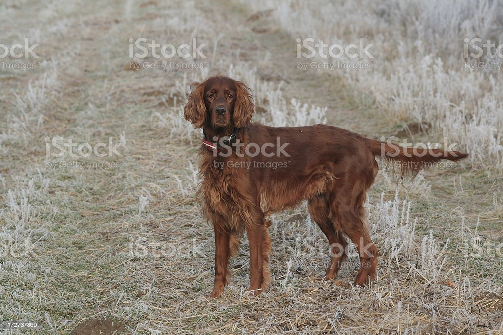 Irish Setter stock photo