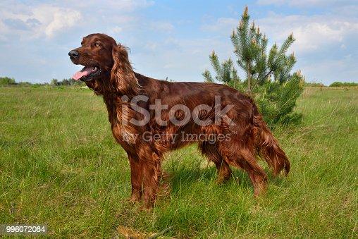Irish setter standing on a green grass field