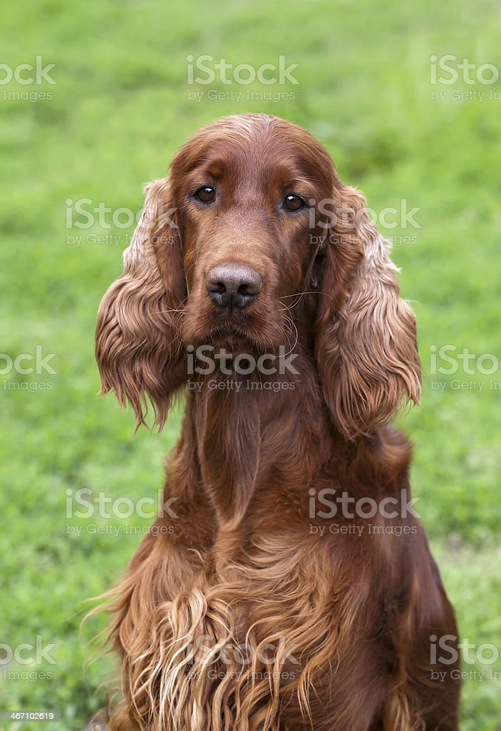 Irish Setter portrait stock photo
