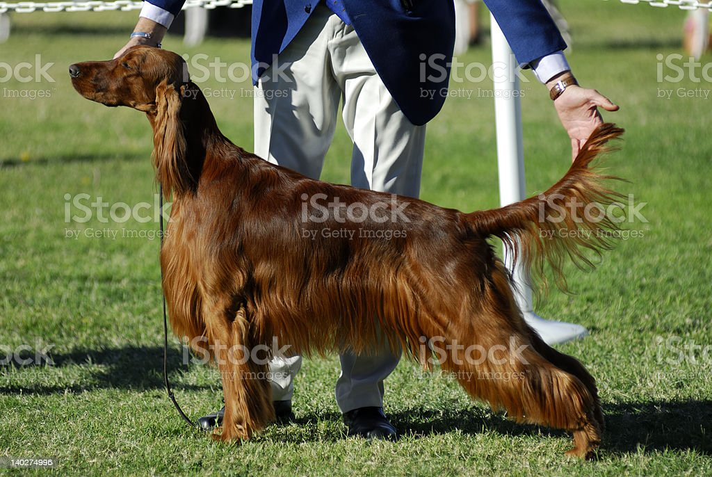 Irish Setter poses for the judges stock photo