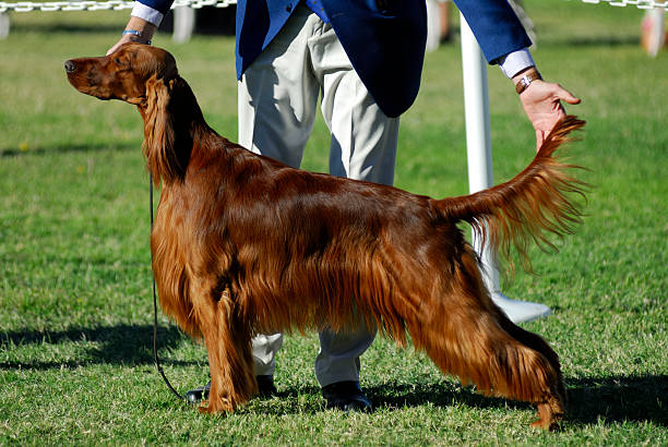 Irish Setter poses for the judges An Irish Setter poses for the judges at a dog show. irish setter stock pictures, royalty-free photos & images