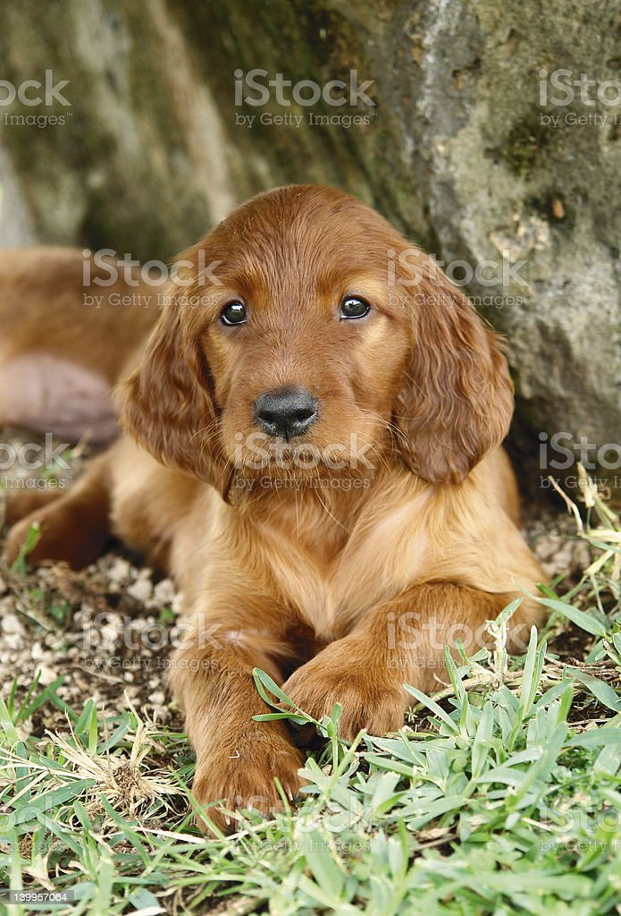 Irish setter puppy laying down royalty-free stock photo