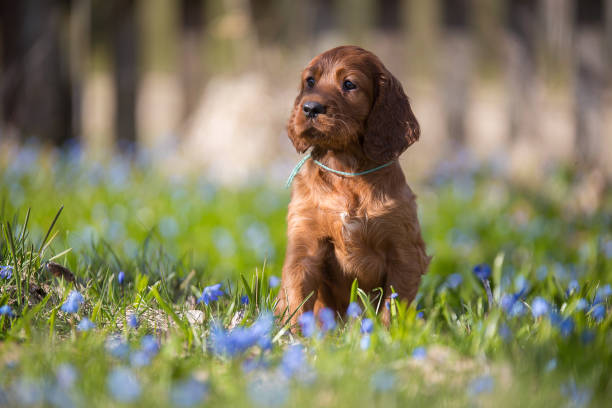 Irish Setter Puppy The Irish Setter puppy sits inside the grass. It is spring. Flowers are blooming irish setter stock pictures, royalty-free photos & images
