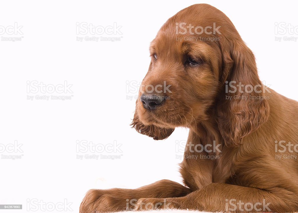 Irish Setter Puppy royalty-free stock photo