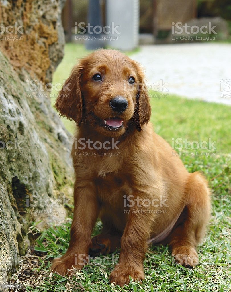 Irish setter puppy sitting royalty-free stock photo