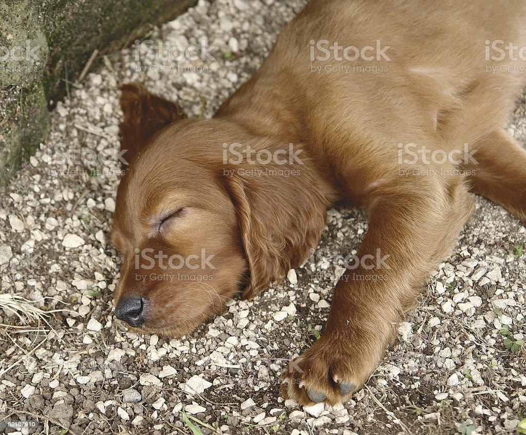 Irish setter puppy sleeping royalty-free stock photo