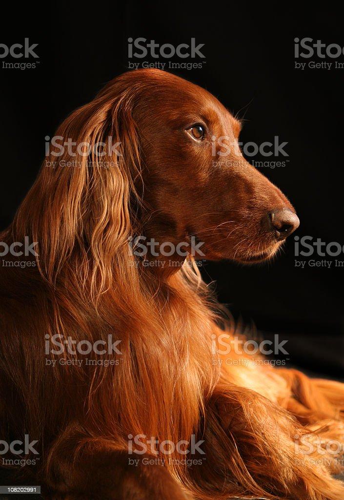 Irish Setter Riley - Beautiful Dog royalty-free stock photo
