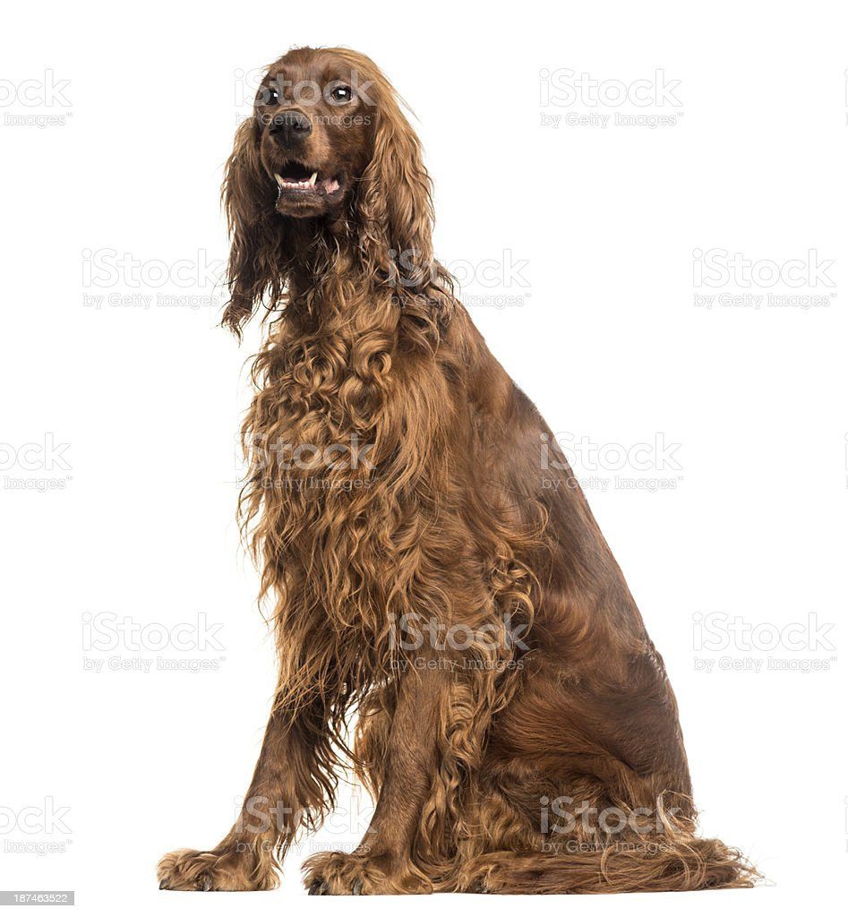 Irish Setter sitting, panting, isolated on white stock photo