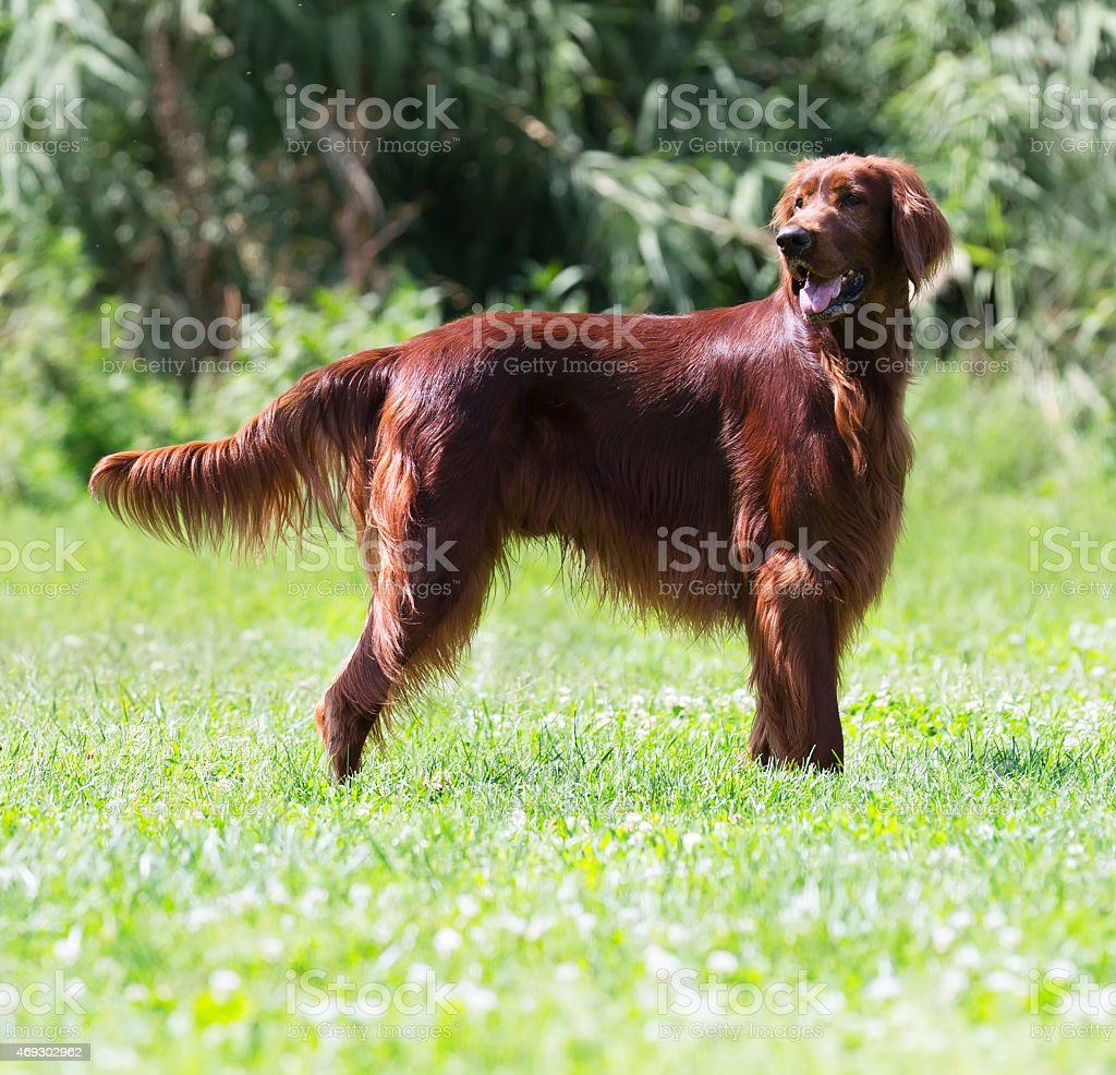Irish Setter standing on  grass stock photo