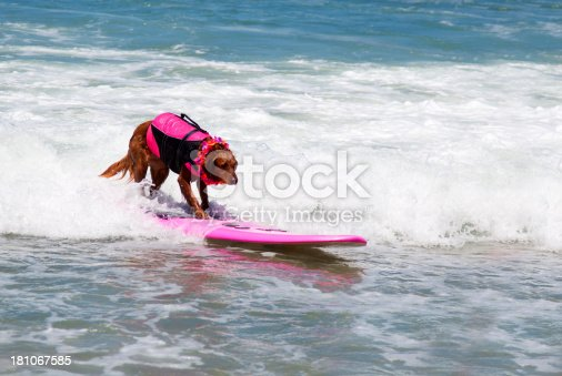 Irish Setter dog surfing in the Pacific Ocean