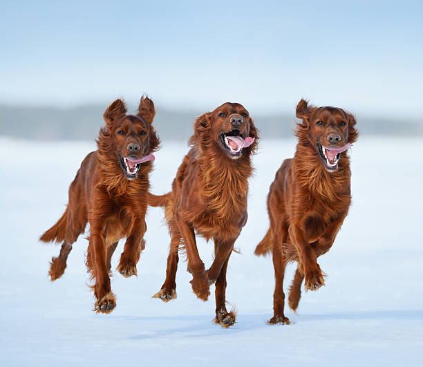 Irish Setters in motion Three Irish Setters in motion irish setter stock pictures, royalty-free photos & images