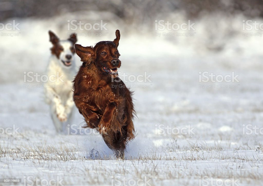 Irish Setters running stock photo