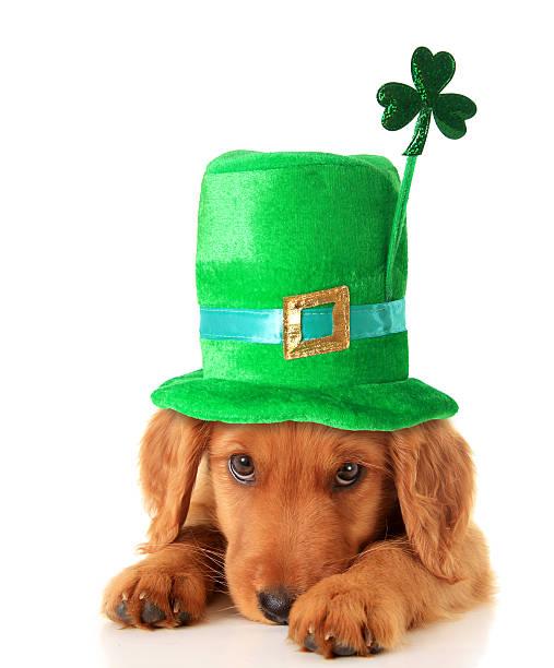 Irish Shamrock uppy An Irish setter puppy wearing a St Patricks day hat. irish setter stock pictures, royalty-free photos & images