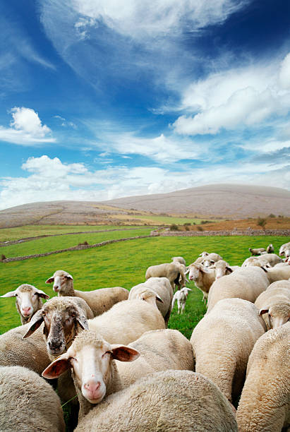 irish sheep - county clare stock pictures, royalty-free photos & images