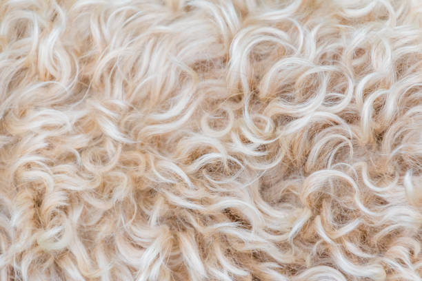 Irish soft coated wheaten terrier white and brown fur wool Irish soft coated wheaten terrier white and brown fur wool animal hair stock pictures, royalty-free photos & images