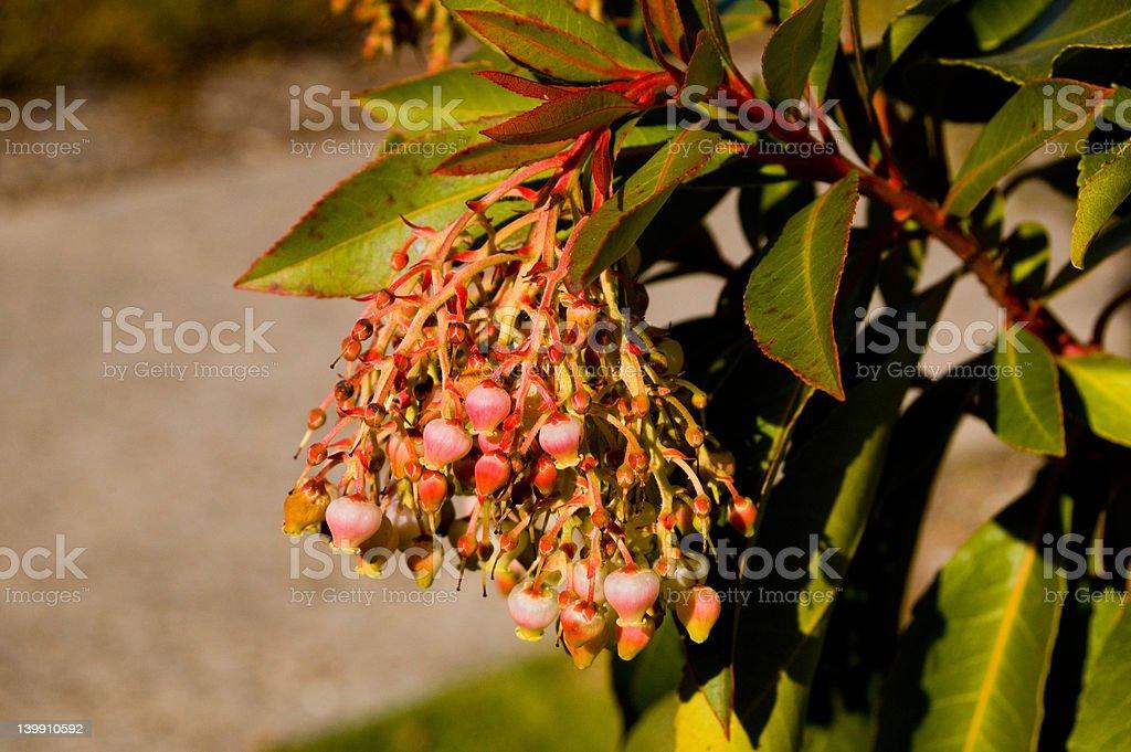 Irish Strawberry Tree Flowers royalty-free stock photo