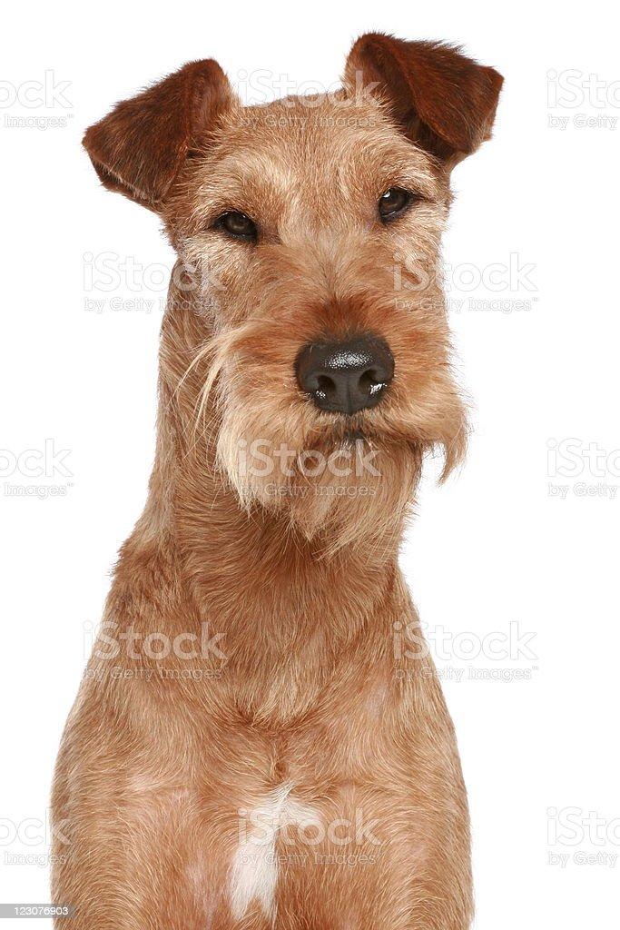 Irish terrier. Dog portrait royalty-free stock photo