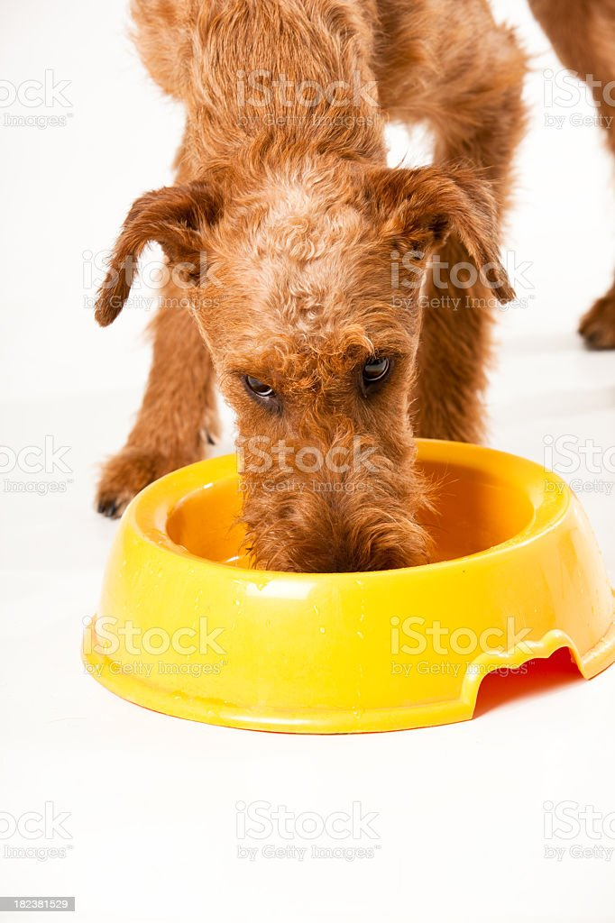 Irish Terrier is drinking some water royalty-free stock photo