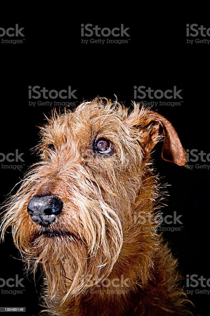 Irish Terrier royalty-free stock photo