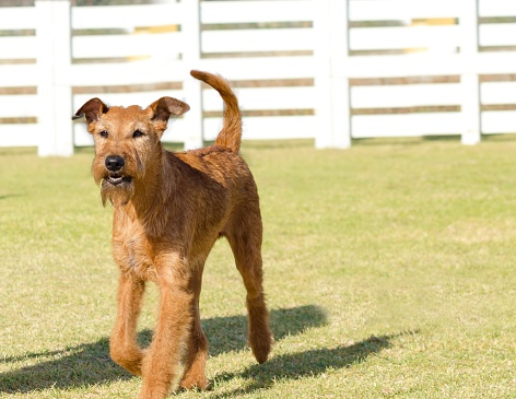 A profile view of a young, beautiful, red, tan Irish Terrier walking on the grass. The Irish red terrier is a medium sized dog, has small v shaped folding ears and thick, wiry golden wheaten coat and long whiskers and bearded muzzle.