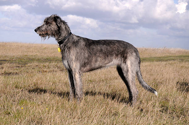 Irish wolfhound dog on grassy moor Standing Irish Wolfhound, looking for a prey. sight hound stock pictures, royalty-free photos & images