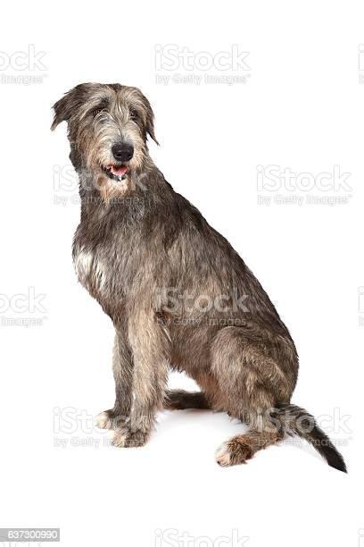 Irish wolfhound dog on white picture id637300990?b=1&k=6&m=637300990&s=612x612&h=vzjrvrj7d4hwjvl3c2ybzwcfrvwgbhgltafefefjluk=