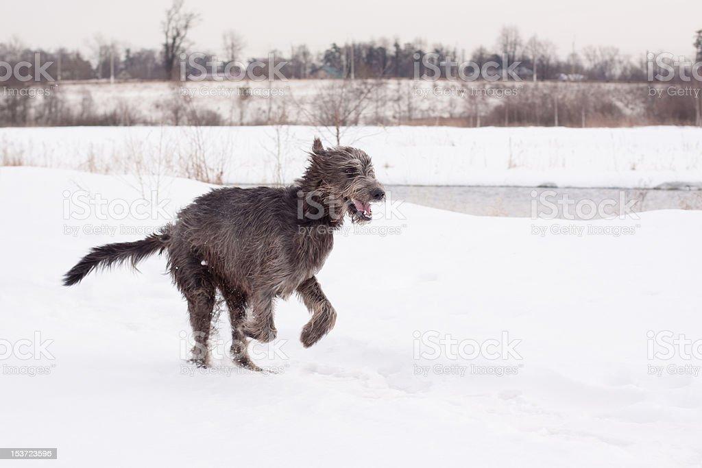Irish Wolfhound Stock Photo - Download Image Now - iStock