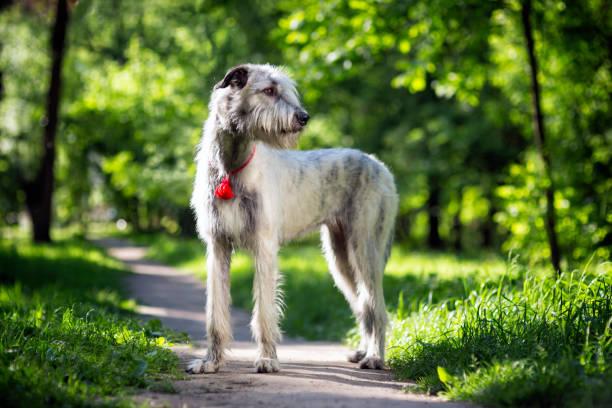 Irish Wolfhound portrait stock photo